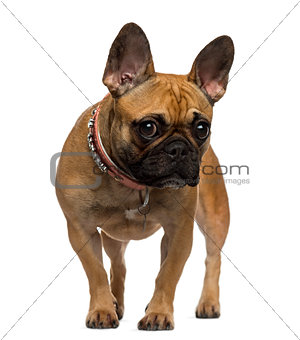 French Bulldog standing and looking at the camera