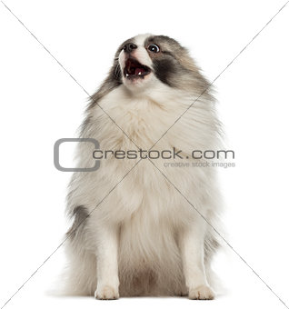 Angry German Spitz sitting