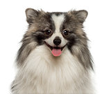 Close-up of a happy German Spitz smiling