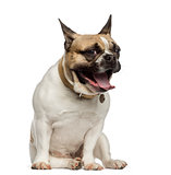 French Bulldog sitting and yawning