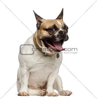 French Bulldog sitting and yawning