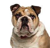 Close-up of an English Bulldog looking