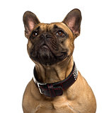 Close-up of a French Bulldog looking up