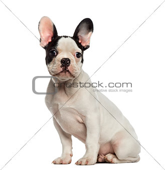 French Bulldog puppy sitting and looking