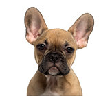 Close-up of a French Bulldog puppy looking at the camera