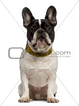 French Bulldog sitting and looking at the camera