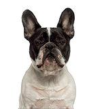 Close-up of a French Bulldog looking at the camera