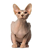 Sphynx sitting and looking up
