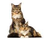Two Maine Coons sitting, lying and looking away