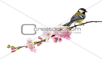 great tit perched on a flowering branch, Parus major, isolated o