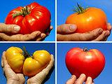 beef tomatoes set