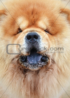 Close up photography of a pretty chow-chow dog