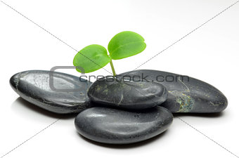 Green plant with black stones