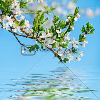 Blooming Cherry Plum