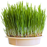 Green Wheat Cutout