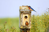 Eastern Bluebirds Feeding