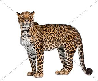 Portrait of leopard, Panthera pardus, standing against white background, studio shot