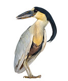 Boat-billed Heron; Boatbill - Cochlearius cochlearius - isolated