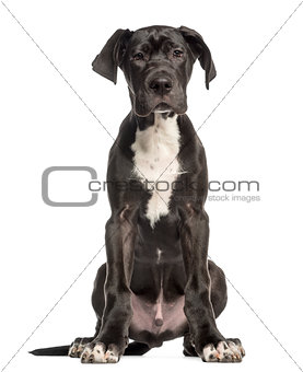 Great Dane puppy, 4 months old, sitting and facing, isolated on