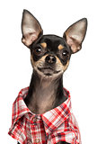 Close-up of a Chihuahua wearing a shirt, 18 months old, isolated
