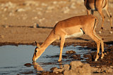 Impala antelope at waterhole