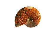 Ammonoidea Fossil