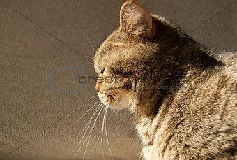British Cat Sitting in Sun, Side View