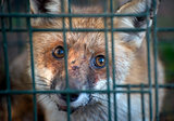 red fox in cage