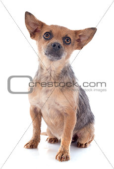 crossbred chihuahua