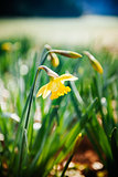 Yellow narcissus in park