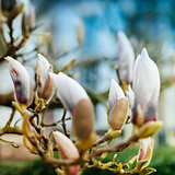 Magnolia flower buds soon to blossom