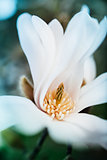 Magnolia flower opened - elegant flower