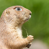 Prairie dog with a human eye