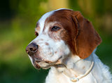 Irish red and white setter portrait