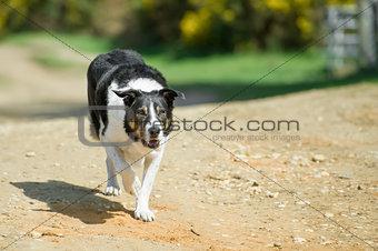 old collie dog