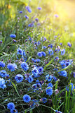 Blue cornflowers on meadow