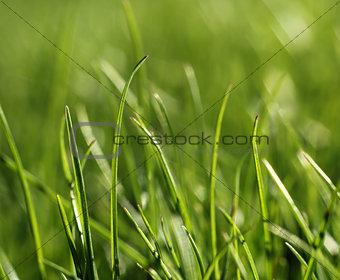 Green grass close-up growth concept