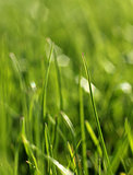 Green grass close-up growth concept