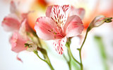 Just opening alstroemeria lily flowers macro on white background