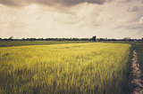 Green  rice field and sky