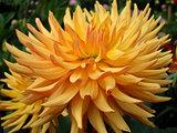 Blooming Dahlia (1)