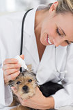 Puppy receiving ear treatment from veterinarian
