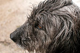 Dog head wet by rain