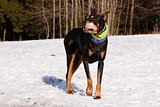 Doberman in winter