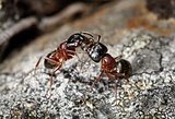 Carpenter ants (Camponotus herculeanus)