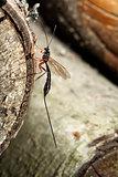 Megarhyssa Wasp (Ichneumonidae)