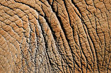 Detail of elephant skin
