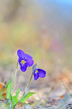 violets flowers (Viola odorata) of spring