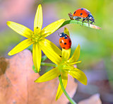 Ladybugs on spring  flowers