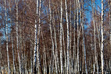 Dense white birch trees parcel